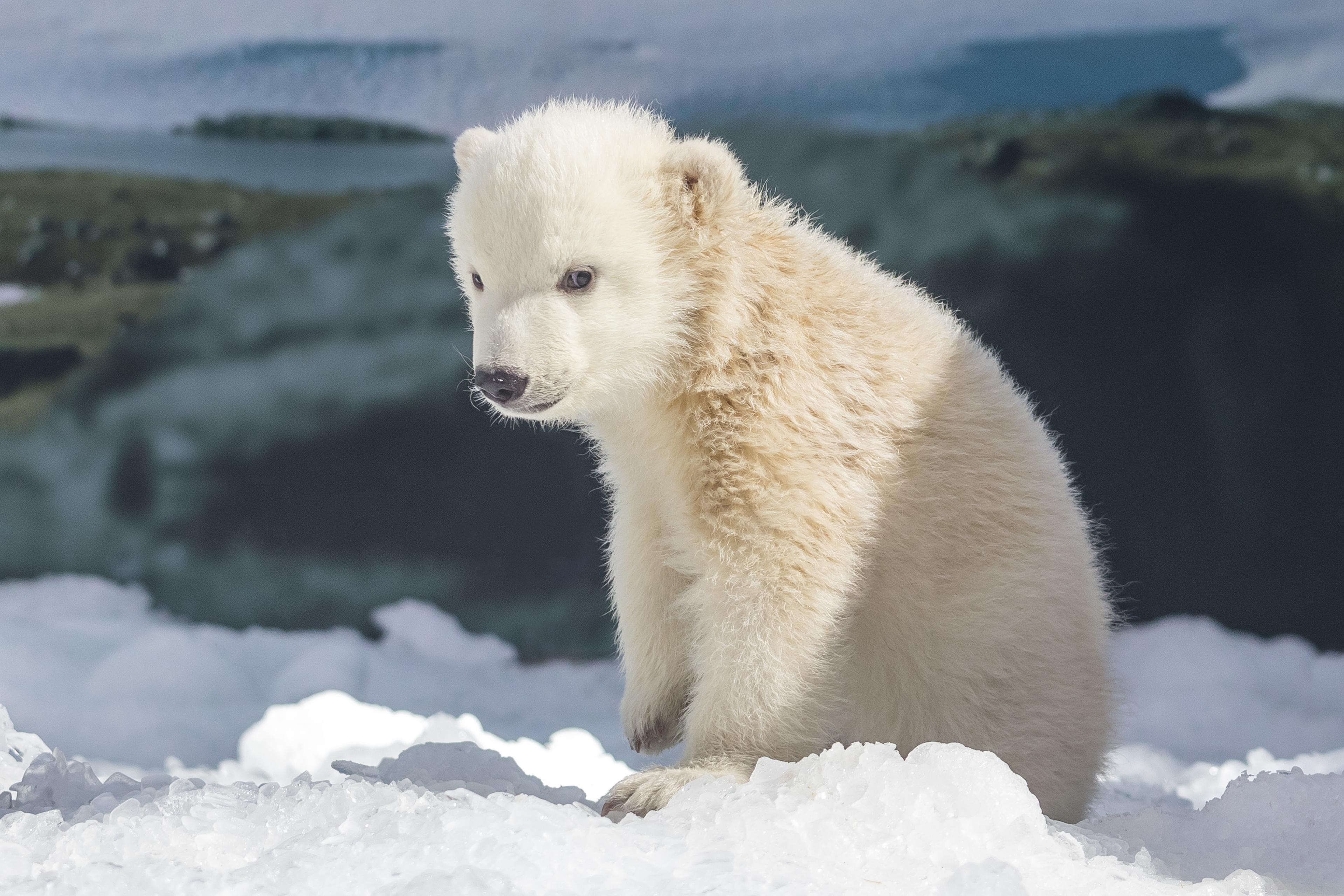 Mishka the polar bear cub