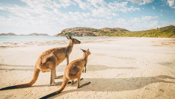 Kangaroos on Esperance beach in Western Australia