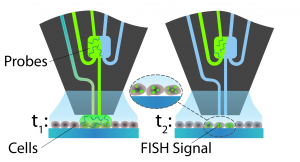 Schematic of FISH signal development