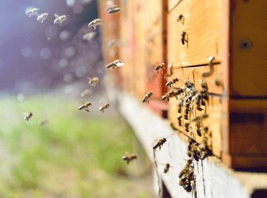 ハチの集団