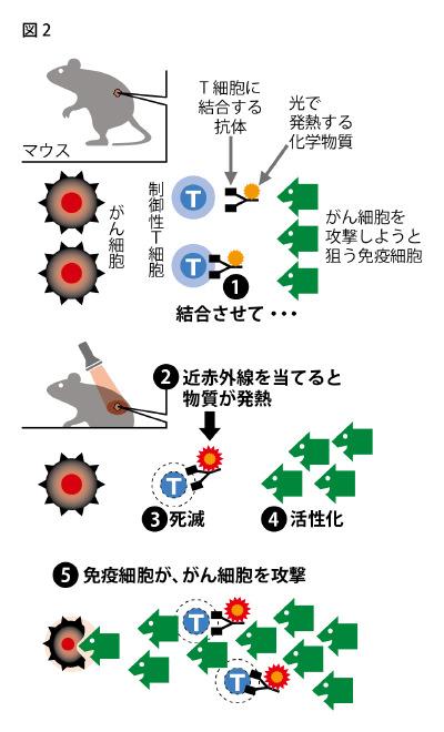図2: 近赤外線のがん免疫療法の仕組み