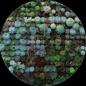 succulenter som bildar ett mönster